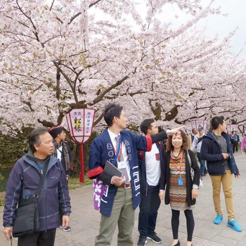 Hirosaki cherry blossom festival with guide